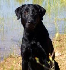 Flint Male Labrador Retriever