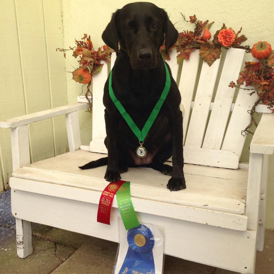 AKC Obedience Titles Archives - BAYSIDE LABRADORS Field and