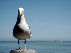 san-francisco-bay-gull-1371411