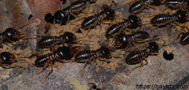 طريقة مكافحة النمل الأبيض في المنزل