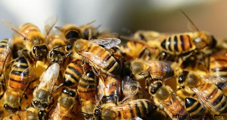 أنواع النحل بالصور