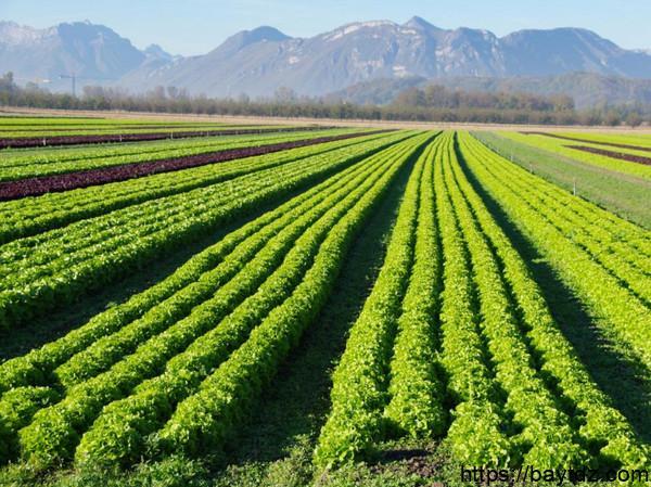 اهم المحاصيل الزراعيه في المدينه المنوره