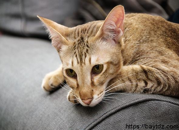 مرض السكري عند القطط
