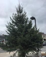 Yonge/Davisville tree delivery #midtownmerriment