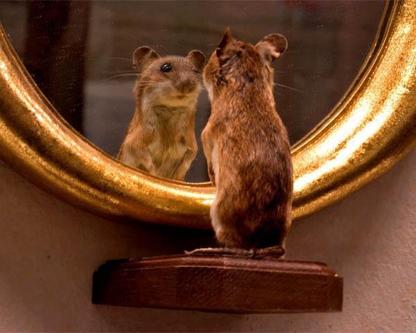 67104716 2296190877312842 6517478112786120704 n - Рефлексия мыши перед парадным зеркалом