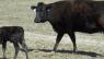B Bar S Cattle