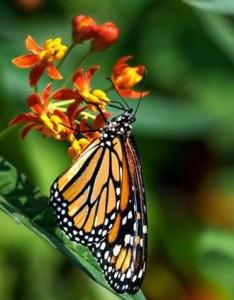 Monarch_crop