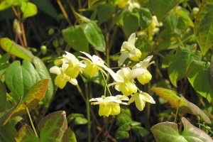 By Maja Dumat (Flickr: Elfenblume (Epimedium x versicolor)) [CC BY 2.0 (http://creativecommons.org/licenses/by/2.0)], via Wikimedia Commons