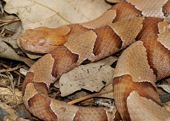 6-year-old bit by Copperhead