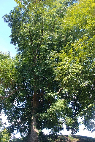 White Oak on the UTIA Indian Mound Listed as an Historic Tree