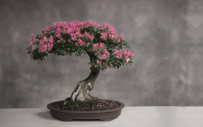 cherry-blossom-bonsai-tree