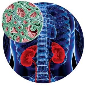 Illustration of the kidneys