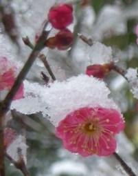 梅の花(2011年2月11日)