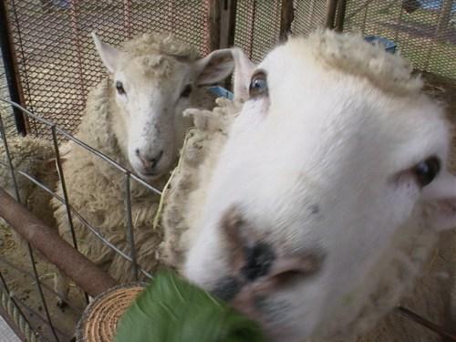 2015年 羊