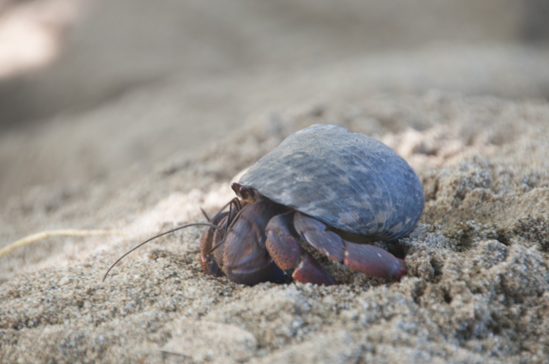 A crab in a stolen shell.