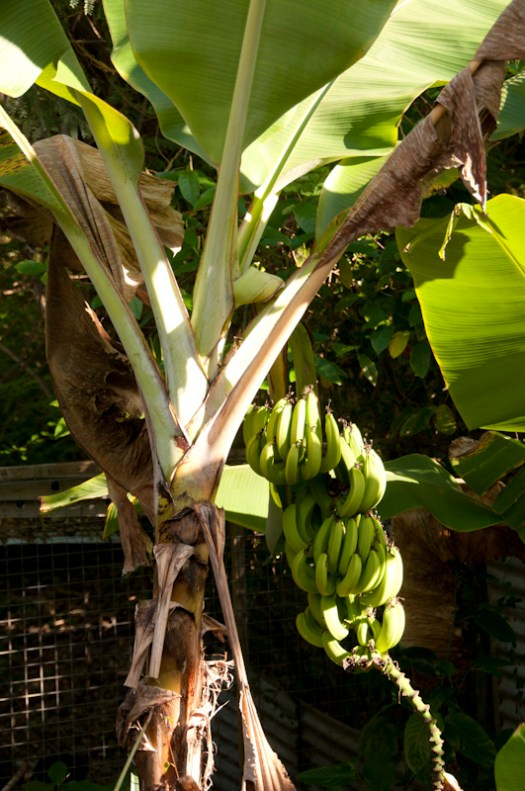 Bananas growing just behind the pool area.
