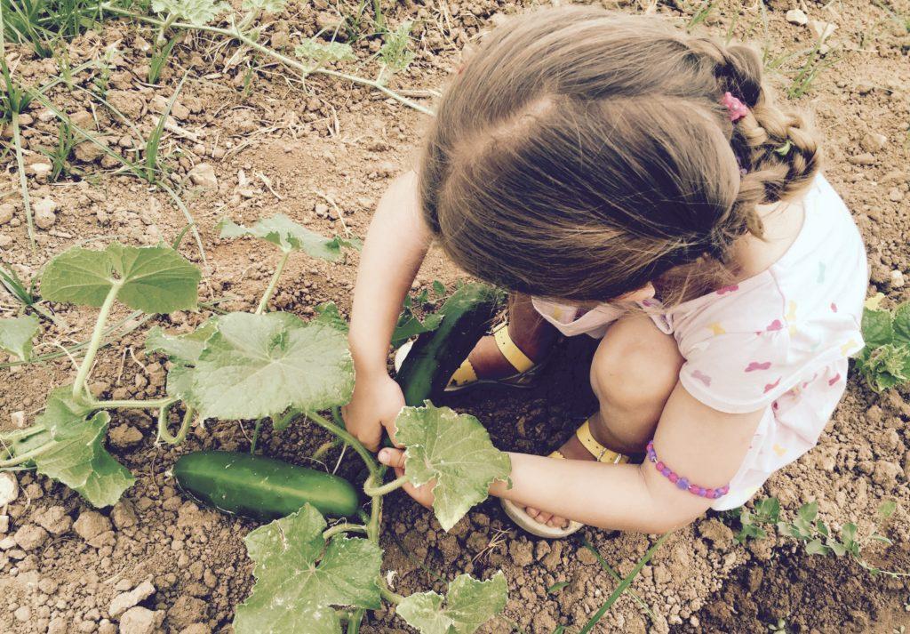 Auto-cueillette concombre
