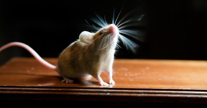 Cristóbal ratón de iglesia