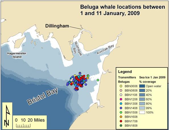 Belugas January 2009