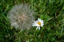 16mai_fleurs des champs