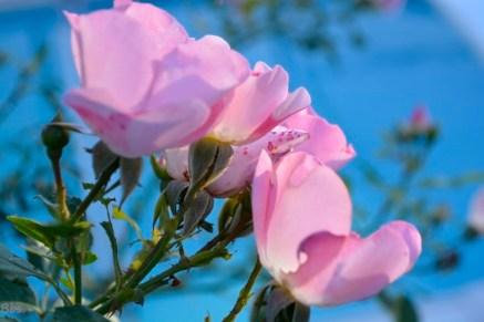 22sept16_rose-et-bleu