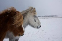 chevaux-a-snaefellsnes-photo-fjallaback_01