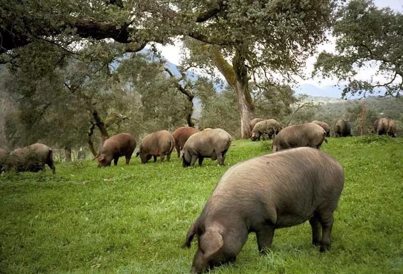 dehesa-met-iberico-varkens