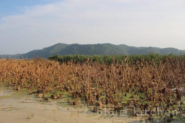 lotus farm