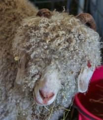 angora-goat-191775_960_720