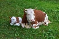 cow-1672056_960_720