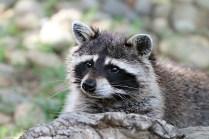 raccoon-1476504_960_720