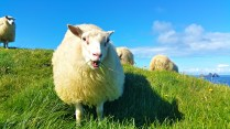sheep-1798950_960_720