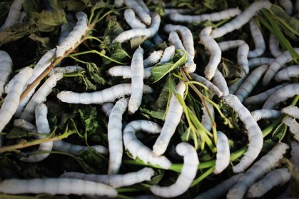 silkworm-931555_960_720
