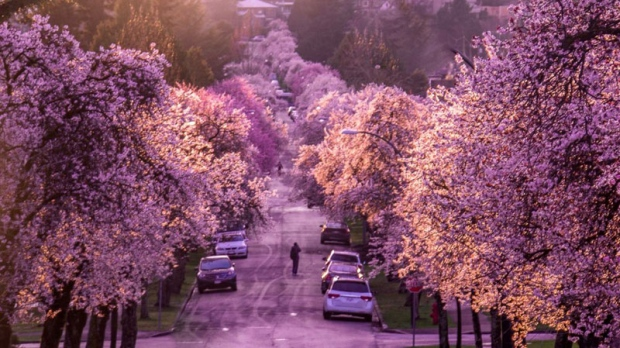 Cherry blossoms in Vancouver. (Photo: Mike Lan/Twitter/@thunderhawk3kca)