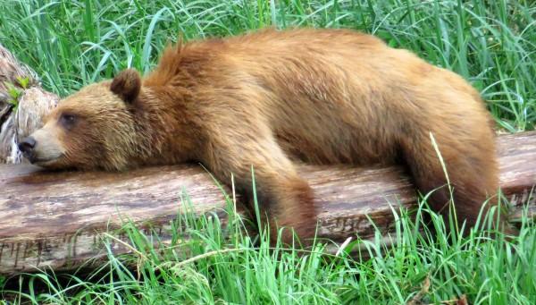Telegraph cove bear