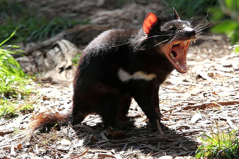 Tasmanian Devil Photo Reduced
