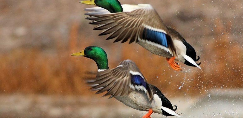 Free Quiz Dabbling Ducks of BC CORE Hunter Education Course