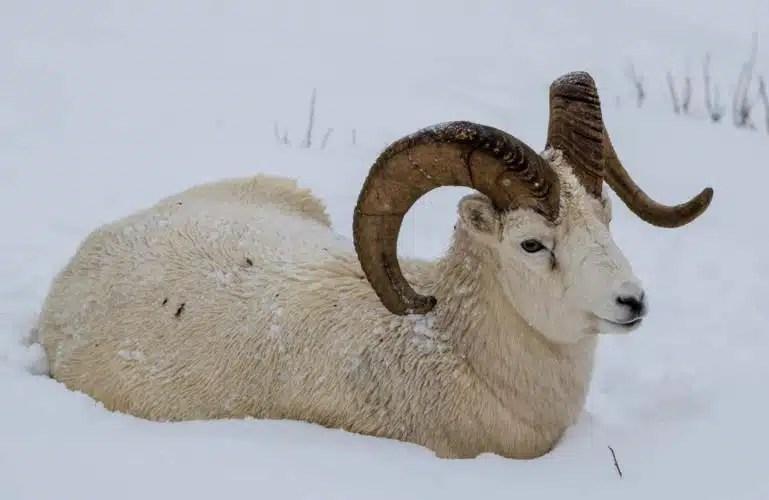BC Animal Identification CORE THIN