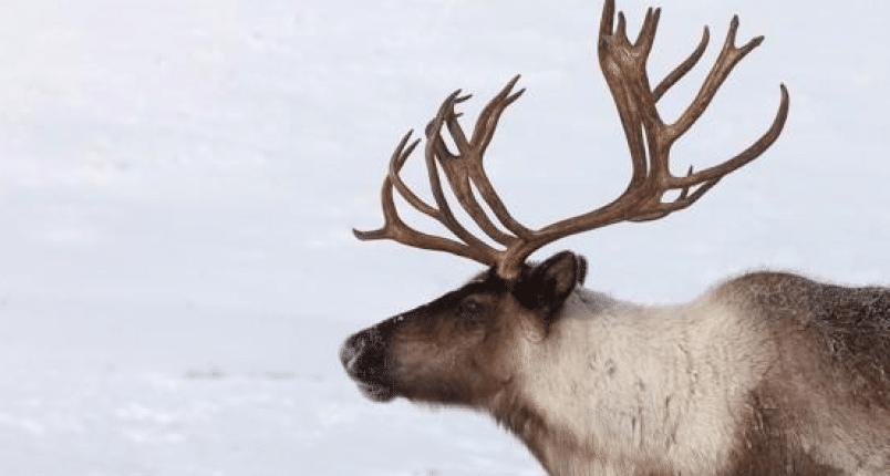 BC Animal Identification CORE Caribou