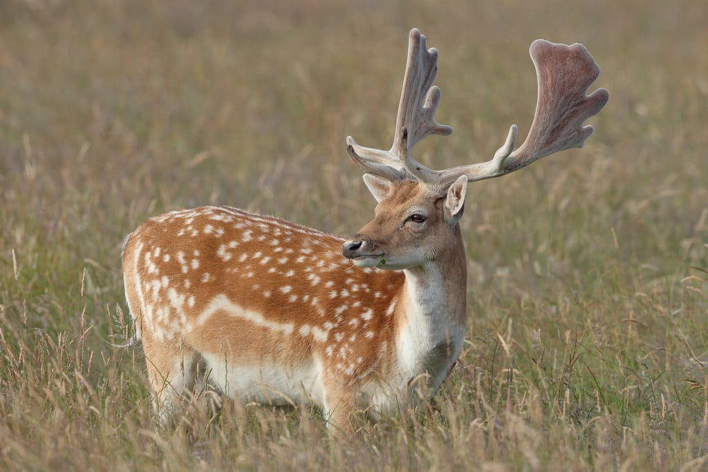 BC Animal Identification CORE Fallow Deer