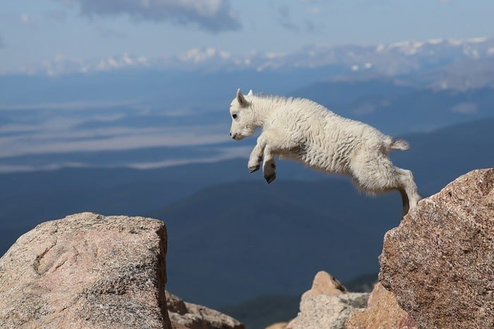 BC Animal Identification Mountain Goats