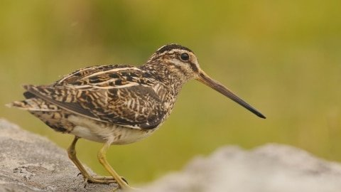 BC Animal Identification Snipe