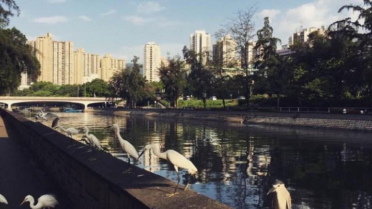 林村河畔的鳥 - 黃牛山人攝