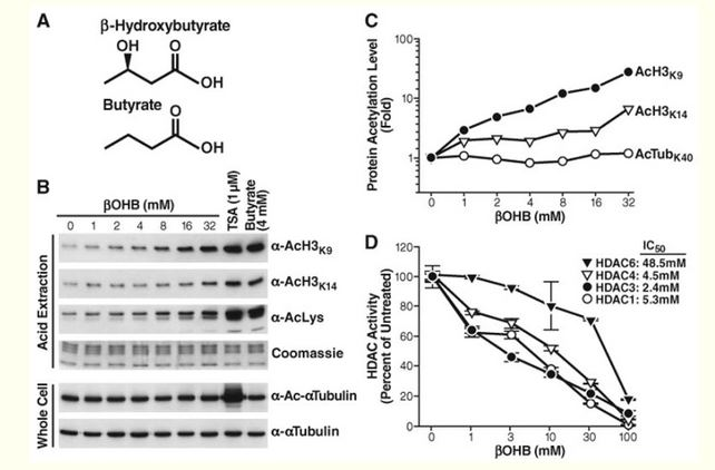 From chromatin to carbohydrates: bridging the gap with β-hydroxybutyrate