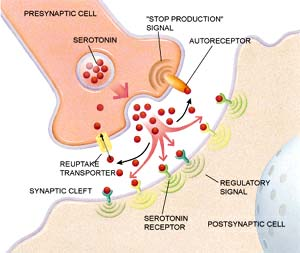 Neurotransmitters bind to a receptor to initiate a reaction response.