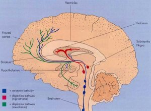 Location of Substantia Nigra (dopamine producing cells) and maps of pathways involving dopamine