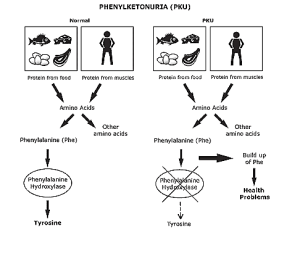 How PKU and normal individuals differ with regards to conversion of phenylalanine