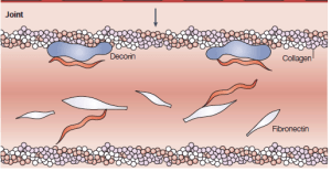 The spirochete bacteria binds to decorin and fibronectin using the outer surface decorin and fibronectin binding proteins.