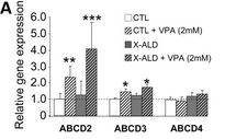 Figure 2: Valproic acid induces ABCD2 gene expression in control and X-ALD fibroblasts. (Fourcade et al., 2010)