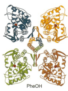 This is a 3D crystal structure of the wildtype human PAH, which was crystallized by Fusetti et al. (1998).